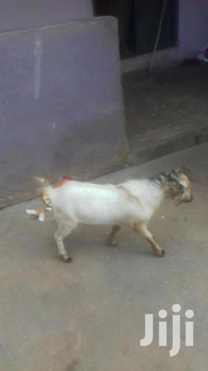Male Goat   Livestock & Poultry for sale in Ashanti, Mampong Municipal