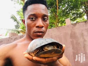 Tortoise for Sale   Reptiles for sale in Greater Accra, Adenta