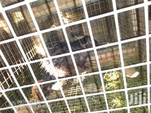 AP3S3 Female | Other Animals for sale in Greater Accra, Accra New Town