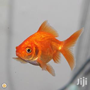 Red Oranda | Fish for sale in Ashanti, Kumasi Metropolitan