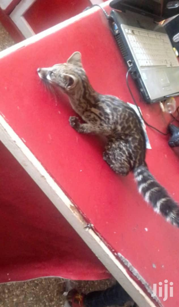 Genet Cats | Other Animals for sale in Mampong Municipal, Ashanti, Ghana