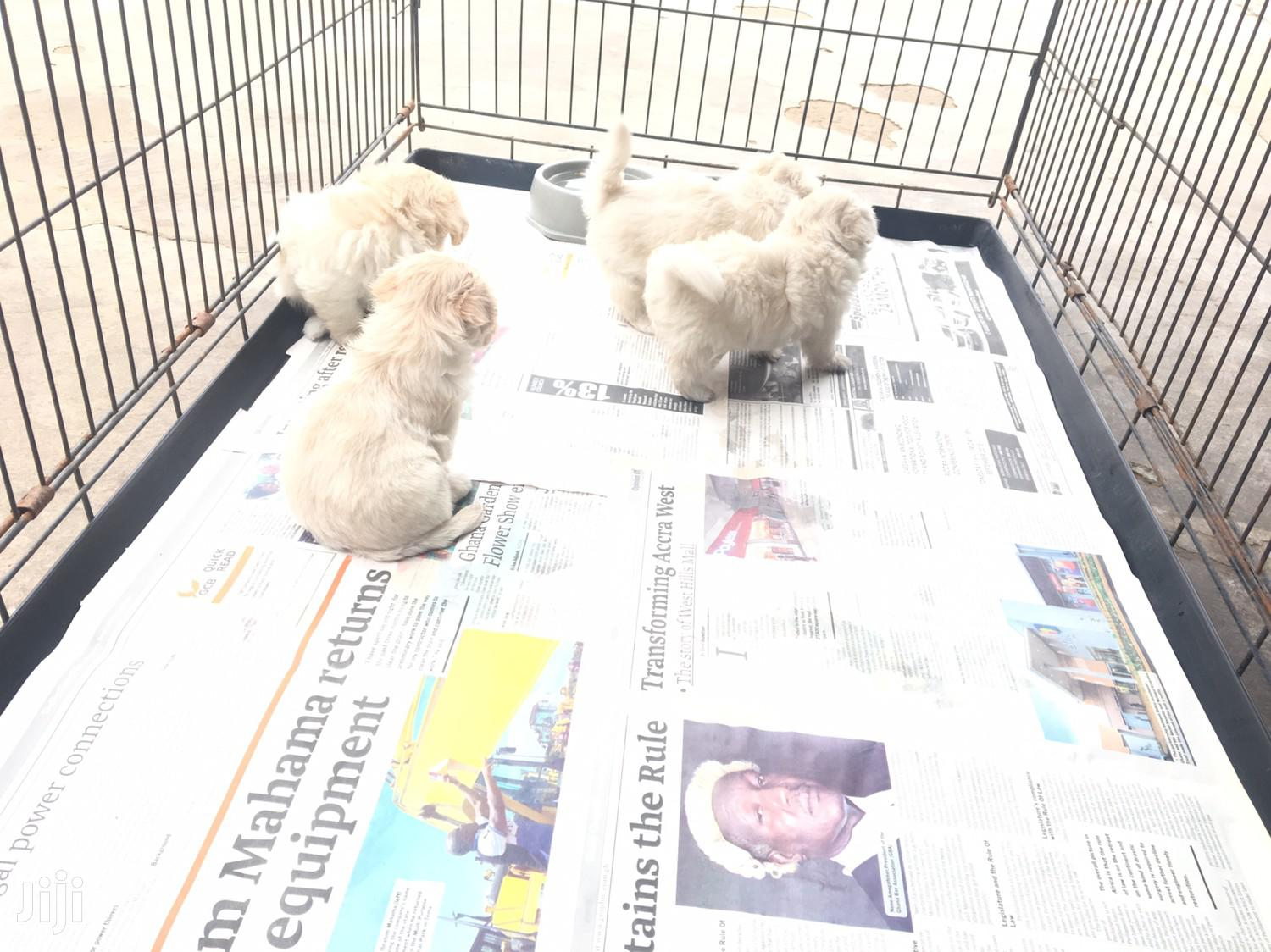 Baby Female Purebred Maltese | Dogs & Puppies for sale in Tema Metropolitan, Greater Accra, Ghana