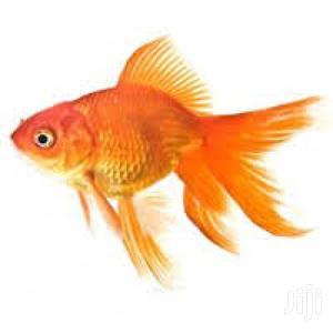 Fantail Oranda | Fish for sale in Greater Accra, East Legon