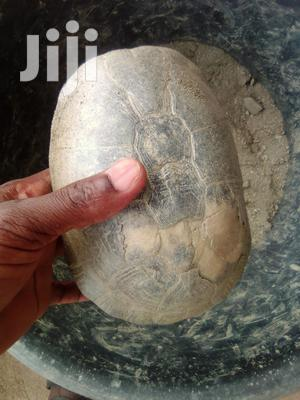 Two Tortoises   Reptiles for sale in Greater Accra, Ga West Municipal