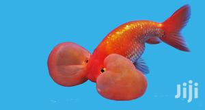 Bubble Eye | Fish for sale in Greater Accra, East Legon