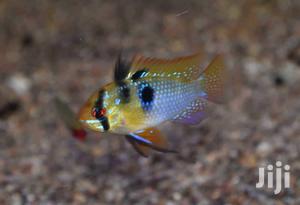 Ram Cichlids | Fish for sale in Ashanti, Kumasi Metropolitan