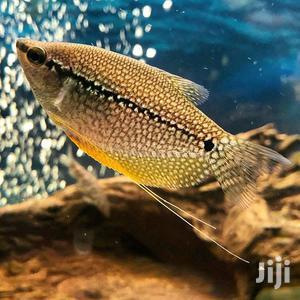 Pearl Gourami | Fish for sale in Ashanti, Kumasi Metropolitan