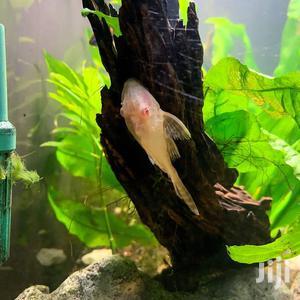 Albino Pleco | Fish for sale in Ashanti, Kumasi Metropolitan