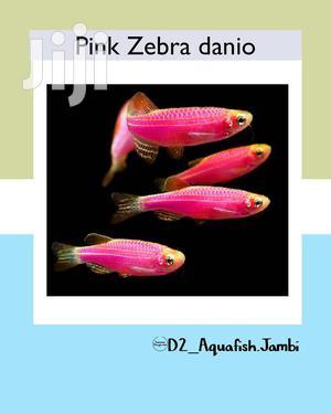Pink Zebr Danio | Fish for sale in Ashanti, Kumasi Metropolitan