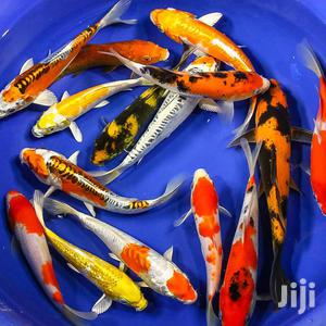 Koi Fishes | Fish for sale in Greater Accra, East Legon