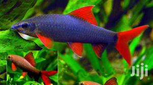 Rainbow Shark | Fish for sale in Greater Accra, East Legon