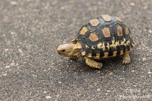 Young Tortoise   Reptiles for sale in Greater Accra, Achimota