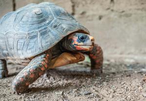 Gaint Tortoise   Reptiles for sale in Greater Accra, Akweteyman