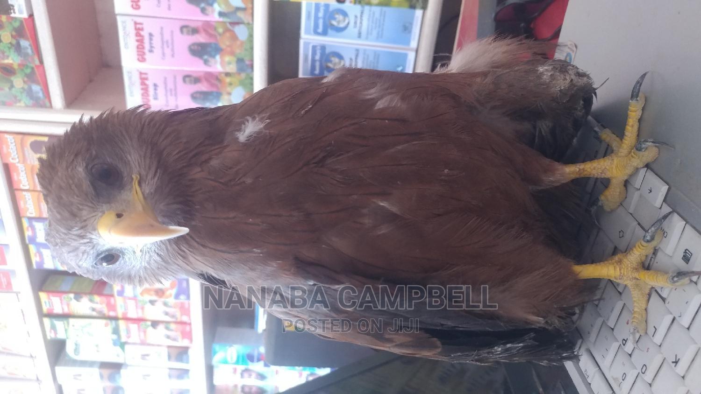 Golden Eagle | Birds for sale in Mampong Municipal, Ashanti, Ghana