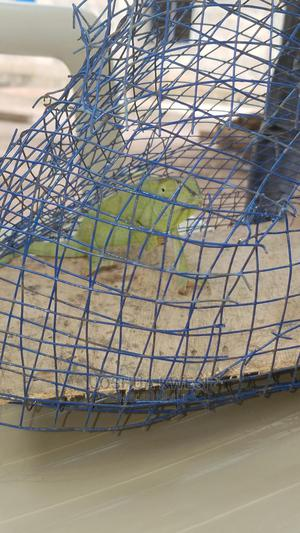 Royalchameleon   Reptiles for sale in Eastern Region, Akuapim North