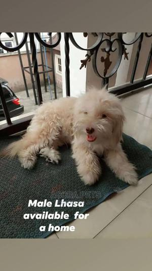 3-6 Month Male Purebred Lhasa Apso | Dogs & Puppies for sale in Greater Accra, Adenta
