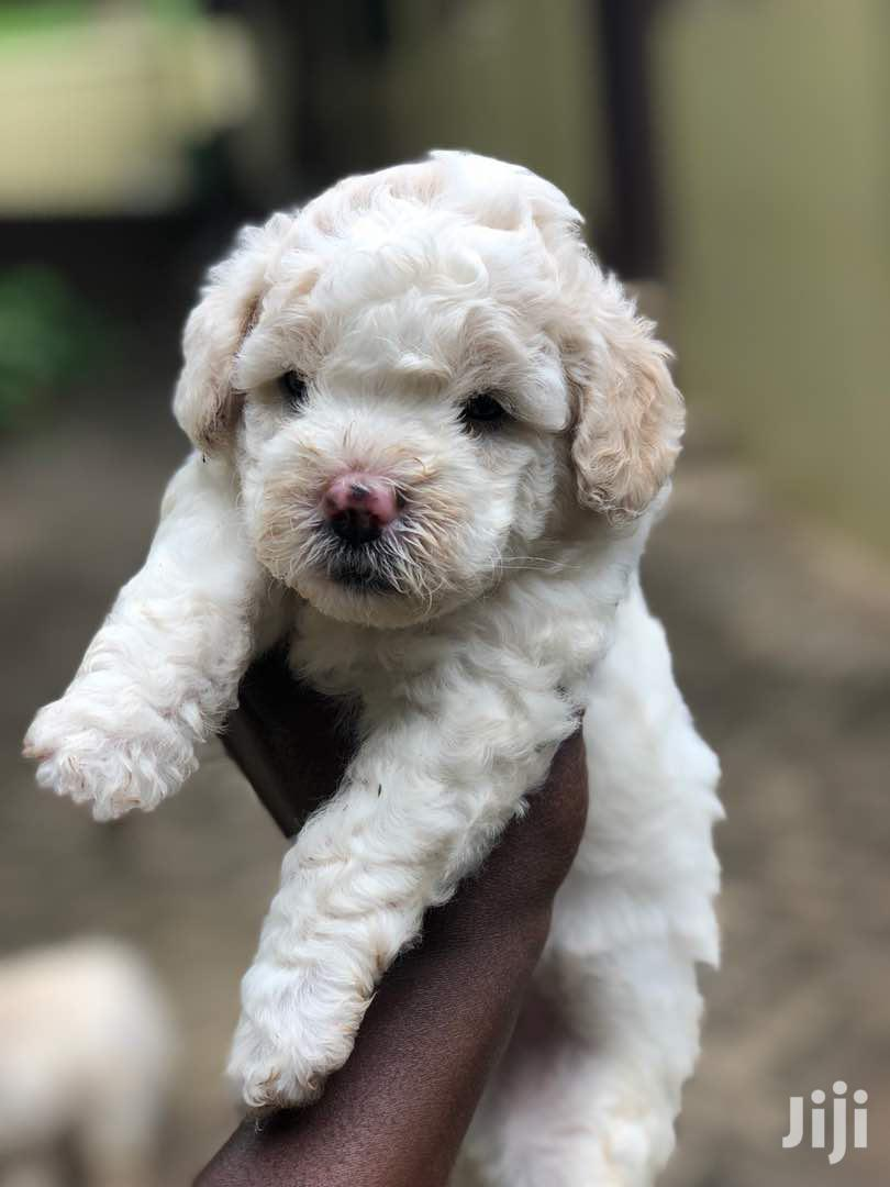 1-3 month Male Purebred Poodle