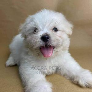1-3 Month Male Purebred Maltese | Dogs & Puppies for sale in Greater Accra, Adjiriganor