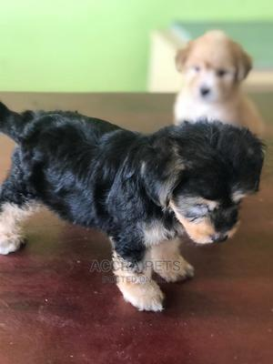 1-3 Month Male Purebred Lhasa Apso | Dogs & Puppies for sale in Greater Accra, Tema Metropolitan