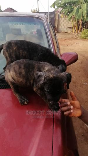 1-3 Month Male Mixed Breed Boerboel | Dogs & Puppies for sale in Greater Accra, Oyibi