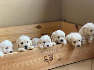 1-3 Month Male Purebred Maltese | Dogs & Puppies for sale in Greater Accra, Tema Metropolitan