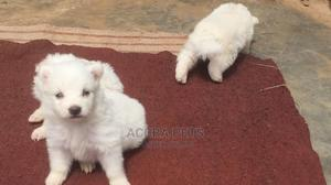 1-3 Month Male Purebred Poodle | Dogs & Puppies for sale in Greater Accra, Tema Metropolitan