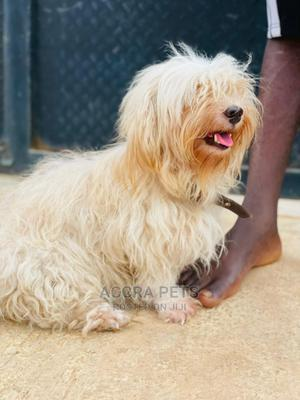 1-3 Month Female Purebred Maltese | Dogs & Puppies for sale in Greater Accra, Tema Metropolitan