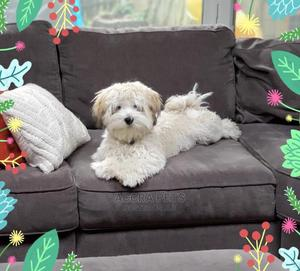 1-3 Month Female Purebred Maltese | Dogs & Puppies for sale in Greater Accra, East Legon