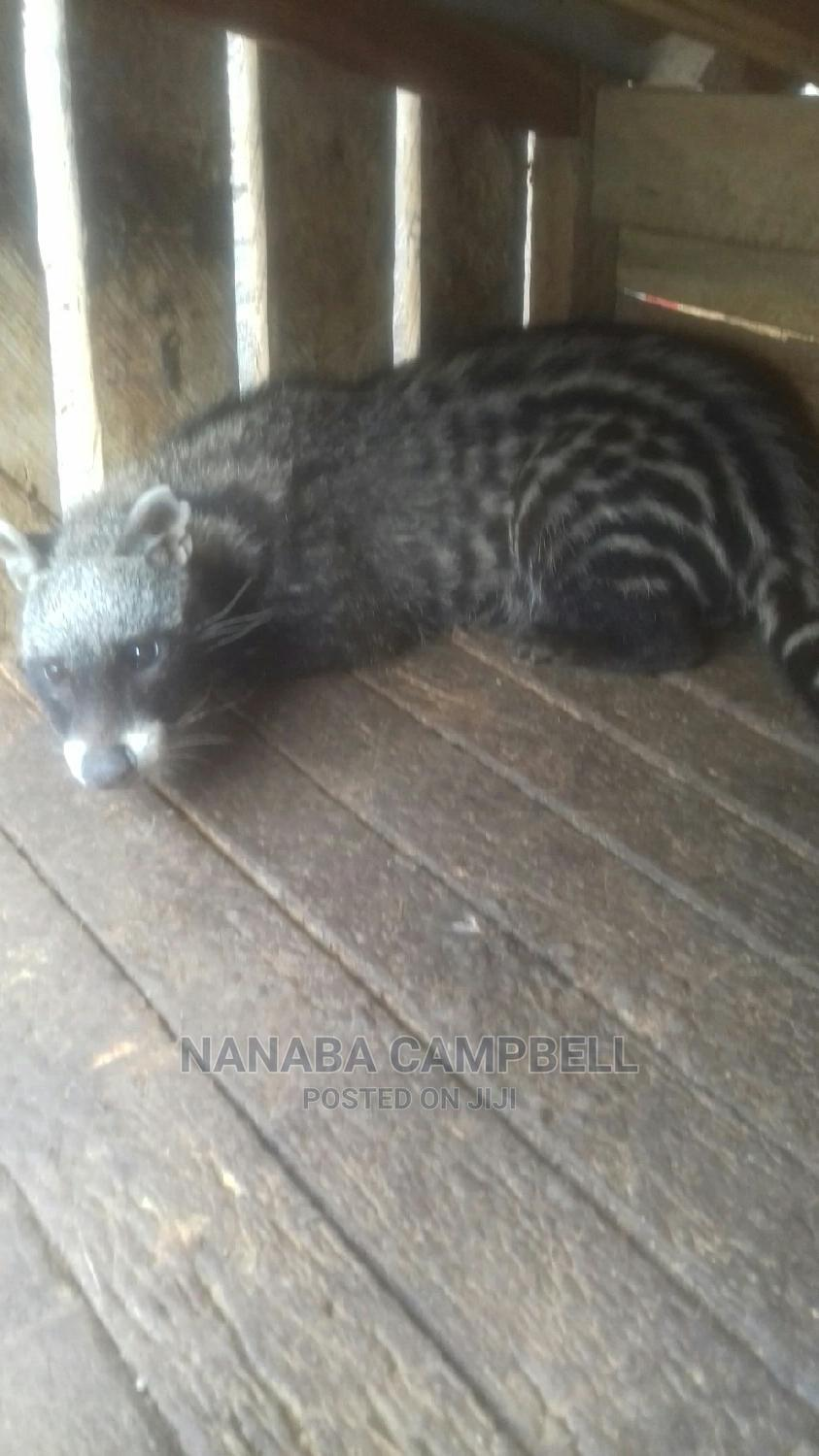 Tamed Civet Cat | Other Animals for sale in Mampong Municipal, Ashanti, Ghana
