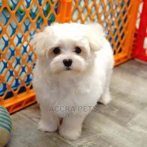 1-3 Month Female Purebred Maltese   Dogs & Puppies for sale in Greater Accra, Adjiriganor