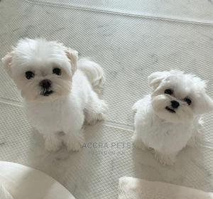 1-3 Month Male Purebred Maltese | Dogs & Puppies for sale in Greater Accra, Ashaley Botwe