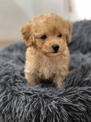 1-3 Month Female Purebred Poodle | Dogs & Puppies for sale in Greater Accra, Dworwulu