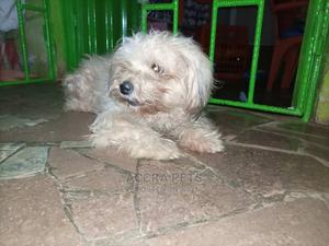 1-3 Month Male Purebred Lhasa Apso | Dogs & Puppies for sale in Greater Accra, Dzorwulu