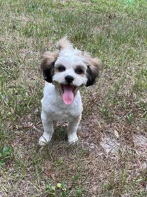 3-6 Month Male Purebred Poodle | Dogs & Puppies for sale in Greater Accra, Bubuashie