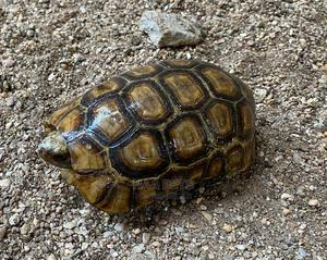 Savannah Tortoise   Reptiles for sale in Greater Accra, Madina