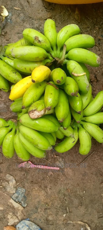Banana Seedlings in Ahafo