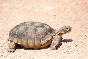 Female Tortoise (Wonder)   Reptiles for sale in Eastern Region, East Akim Municipal