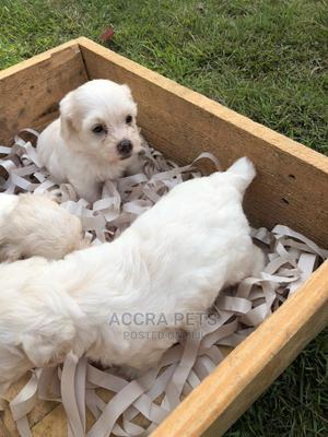 1-3 Month Male Purebred Maltese | Dogs & Puppies for sale in Greater Accra, Osu