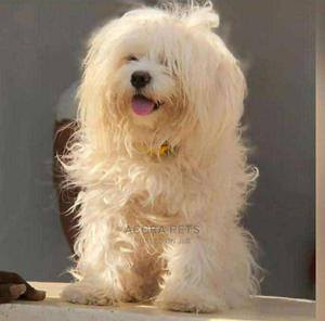 1-3 Month Female Purebred Maltese | Dogs & Puppies for sale in Greater Accra, Osu