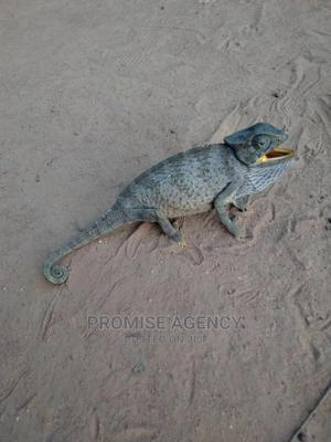 Chameleon for Sale   Reptiles for sale in Greater Accra, Adenta