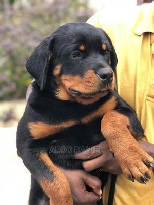 3-6 Month Male Purebred Rottweiler | Dogs & Puppies for sale in Greater Accra, Adenta