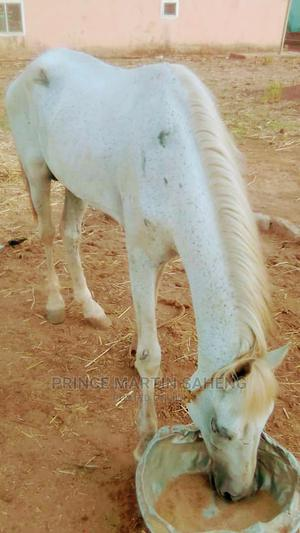 Gray White Horse | Other Animals for sale in Upper East Region, Bolgatanga Municipal