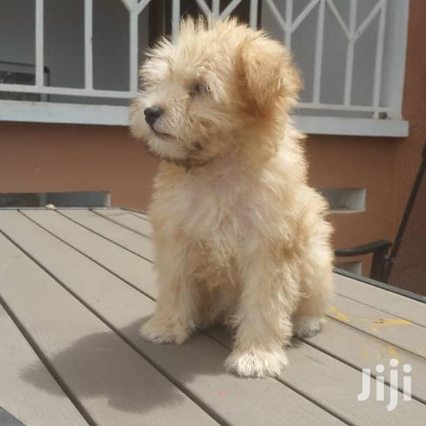 Archive: Young Female Purebred Poodle