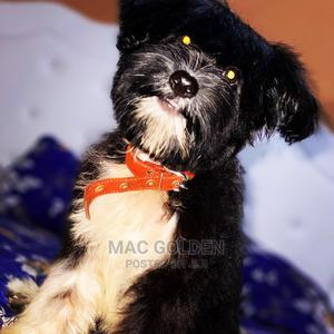 6-12 Month Male Purebred Poodle | Dogs & Puppies for sale in Central Region, Awutu Senya East Municipal