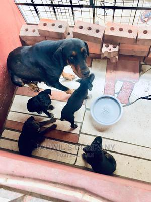 0-1 Month Female Purebred Doberman Pinscher | Dogs & Puppies for sale in Greater Accra, Anyaa