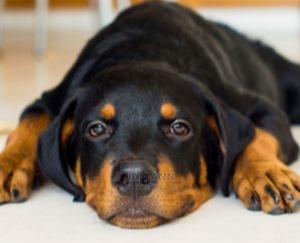 3-6 Month Male Purebred Rottweiler | Dogs & Puppies for sale in Central Region, Awutu Senya East Municipal
