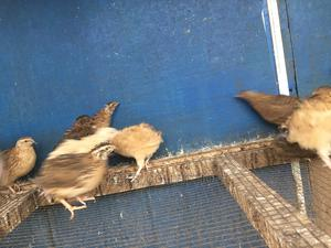 Quails Bird   Livestock & Poultry for sale in Greater Accra, Madina