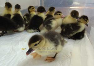 Foreign Ducks for Sale Book Now   Livestock & Poultry for sale in Greater Accra, Accra Metropolitan