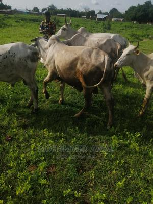 Cow for Sale   Livestock & Poultry for sale in Northern Region, Nanumba South