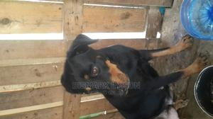 1+ Year Female Purebred Rottweiler | Dogs & Puppies for sale in Greater Accra, East Legon